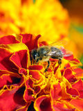 μέλισσα λίγα Στοκ Φωτογραφίες
