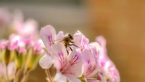 Μέλισσα μελιού που συλλέγει τη γύρη από ένα λουλούδι στην πλήρη άνθιση στοκ φωτογραφία