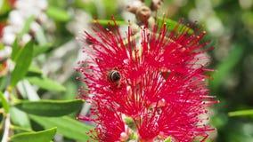 Μέλισσα μελιού σε ένα λουλούδι βουρτσών μπουκαλιών φιλμ μικρού μήκους