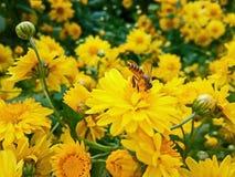 Μέλισσα μελιού στο κίτρινο λουλούδι! στοκ φωτογραφίες