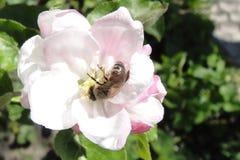 Μέλισσα μελιού στο λουλούδι Στοκ Φωτογραφίες