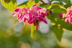 Μέλισσα με τα άνθη μήλων στοκ εικόνα με δικαίωμα ελεύθερης χρήσης