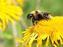 μέλισσα μικρή Στοκ φωτογραφία με δικαίωμα ελεύθερης χρήσης