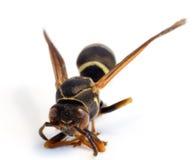 μέλισσα που απομονώνετα&io Στοκ φωτογραφία με δικαίωμα ελεύθερης χρήσης
