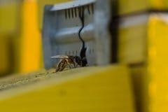 Μέλισσα που εισάγει την κυψέλη Μέλισσα που υπερασπίζει την κυψέλη στοκ εικόνα