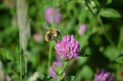 μέλισσα που εξάγει το νέκταρ Στοκ φωτογραφία με δικαίωμα ελεύθερης χρήσης