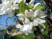 Μέλισσα που επικονιάζει ένα λουλούδι στον κήπο ενάντια στο μπλε ουρανό στοκ εικόνα