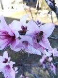 Μέλισσα που επισκέπτεται το ρόδινο λουλούδι στοκ φωτογραφία με δικαίωμα ελεύθερης χρήσης