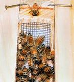 μέλισσα που παίρνει τη νέα βασίλισσα Στοκ φωτογραφία με δικαίωμα ελεύθερης χρήσης