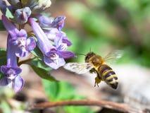 Μέλισσα που πετά στο ιώδες λουλούδι Στοκ Εικόνα