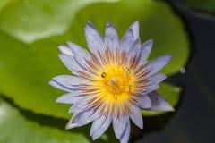 μέλισσα που πετά στο λουλούδι λωτού Στοκ Εικόνες