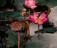 Μέλισσα που πετά στο ρόδινο Lotus στοκ εικόνες