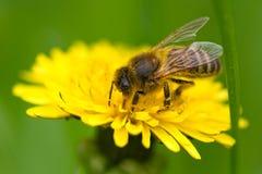 μέλισσα που συλλέγει τη γύρη μελιού Στοκ Εικόνες