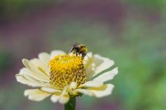 Μέλισσα που συλλέγει τη γύρη στα κίτρινα zinnias στον κήπο στοκ φωτογραφίες
