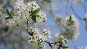 Μέλισσα που συλλέγει τη γύρη στο άνθος κερασιών φιλμ μικρού μήκους