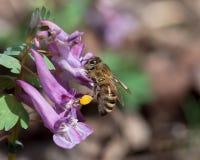 Μέλισσα που συλλέγει τη γύρη στο ιώδες λουλούδι Στοκ φωτογραφία με δικαίωμα ελεύθερης χρήσης