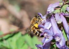Μέλισσα που συλλέγει τη γύρη στο ιώδες λουλούδι Στοκ Φωτογραφία