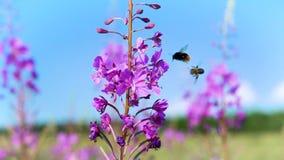 Μέλισσα που συλλέγει τη γύρη στο πορφυρό λουλούδι απόθεμα βίντεο