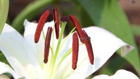 Μέλισσα που συλλέγει τη γύρη του άσπρου λουλουδιού κρίνων απόθεμα βίντεο