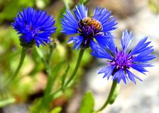 Μέλισσα που συλλέγει το μέλι στο μπλε λουλούδι στοκ εικόνα με δικαίωμα ελεύθερης χρήσης