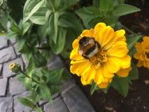 μέλισσα που συλλέγει το μέλι Στοκ εικόνα με δικαίωμα ελεύθερης χρήσης