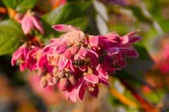μέλισσα που φαίνεται νέκτ&alp στοκ εικόνα με δικαίωμα ελεύθερης χρήσης