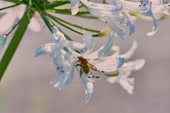 Μέλισσα σε άσπρο αφρικανικό Agapanthus στοκ φωτογραφία με δικαίωμα ελεύθερης χρήσης