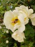 Μέλισσα σε ένα άσπρο ανθίζοντας λουλούδι στοκ εικόνες