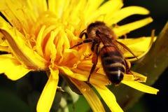 Μέλισσα σε ένα κίτρινο λουλούδι στοκ φωτογραφία με δικαίωμα ελεύθερης χρήσης