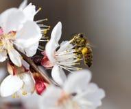 Μέλισσα σε ένα λουλούδι στη φύση Μακροεντολή Στοκ εικόνες με δικαίωμα ελεύθερης χρήσης