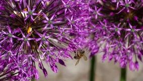 Μέλισσα στα λουλούδια κρεμμυδιών φιλμ μικρού μήκους