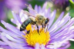 μέλισσα στενό σε έναν επάνω λουλουδιών στοκ εικόνες