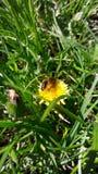 Μέλισσα στην πικραλίδα στοκ φωτογραφία με δικαίωμα ελεύθερης χρήσης