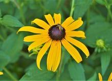Μέλισσα στη μαύρη Eyed Susan στοκ φωτογραφίες