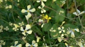 Μέλισσα στις πράσινες εγκαταστάσεις στα λουλούδια στη φύση απόθεμα βίντεο