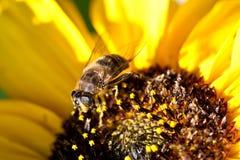 Μέλισσα στον ηλίανθο Στοκ Φωτογραφίες
