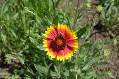 Μέλισσα στον προϊστάμενο λουλουδιών Gaillardia Στοκ Φωτογραφίες