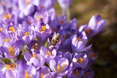 Μέλισσα στους πορφυρούς κρόκους το πρωί στοκ φωτογραφία με δικαίωμα ελεύθερης χρήσης