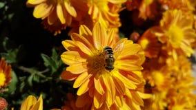 Μέλισσα στο αγρόκτημα στοκ εικόνες με δικαίωμα ελεύθερης χρήσης