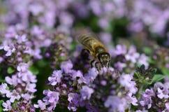 Μέλισσα στο θυμάρι Στοκ εικόνες με δικαίωμα ελεύθερης χρήσης
