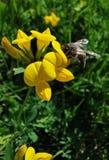 Μέλισσα στο κίτρινο λουλούδι στοκ φωτογραφία