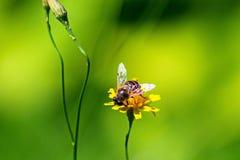 Μέλισσα στο κίτρινο λουλούδι στο λιβάδι που συλλέγει το μέλι Στοκ εικόνα με δικαίωμα ελεύθερης χρήσης