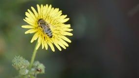 Μέλισσα στο κίτρινο λουλούδι, που συλλέγει τη γύρη Στοκ εικόνα με δικαίωμα ελεύθερης χρήσης