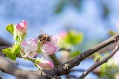 Μέλισσα στο λουλούδι μήλων με τη γύρη στην άνοιξη MAC ανθών της Apple Στοκ Εικόνες
