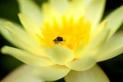μέλισσα 03 Στοκ Εικόνα