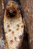 μέλισσα 2 κανένας stingless Στοκ Φωτογραφία
