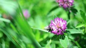 Μέλισσα Bumble που επικονιάζει ένα λουλούδι τριφυλλιού απόθεμα βίντεο