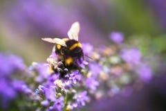 Μέλισσα Bumble στο ανθίζοντας lavender λουλούδι Στοκ φωτογραφία με δικαίωμα ελεύθερης χρήσης
