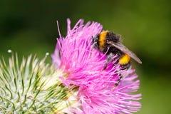 Μέλισσα Bumble στο ρόδινο λουλούδι Στοκ εικόνες με δικαίωμα ελεύθερης χρήσης