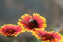μέλισσα bumble Στοκ Εικόνες